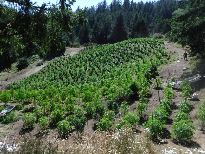 how to grow outdoor dope plants in australia