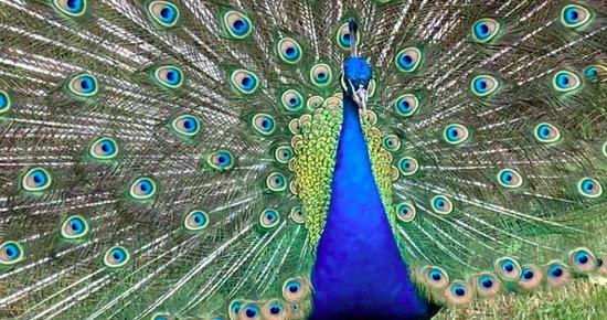 [UPDATED] Beloved McKinleyville Peacock, a 'Neighborhood ...