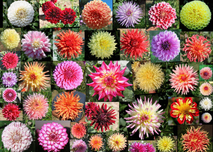 Almand Dahlia Gardens Invites You To The 3rd Annual Redwood Coast Dahlia  Festival. There Will Be An Amateur Dahlia Competition And Exhibition  Display, ...