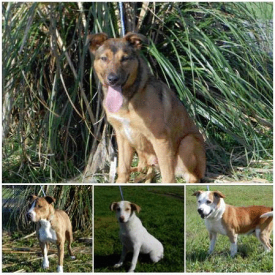Humboldt County Animal Shelter Adoptable Dogs