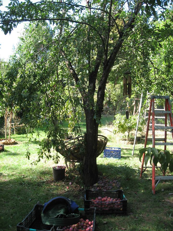 Apples being gleaned by Food for People from a Willow Creek property ...