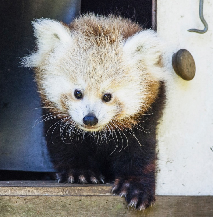 Here Is A List Of Baby Red Panda Names For You To Vote On Fuzzy Lovers Lost Coast Outpost Humboldt County News