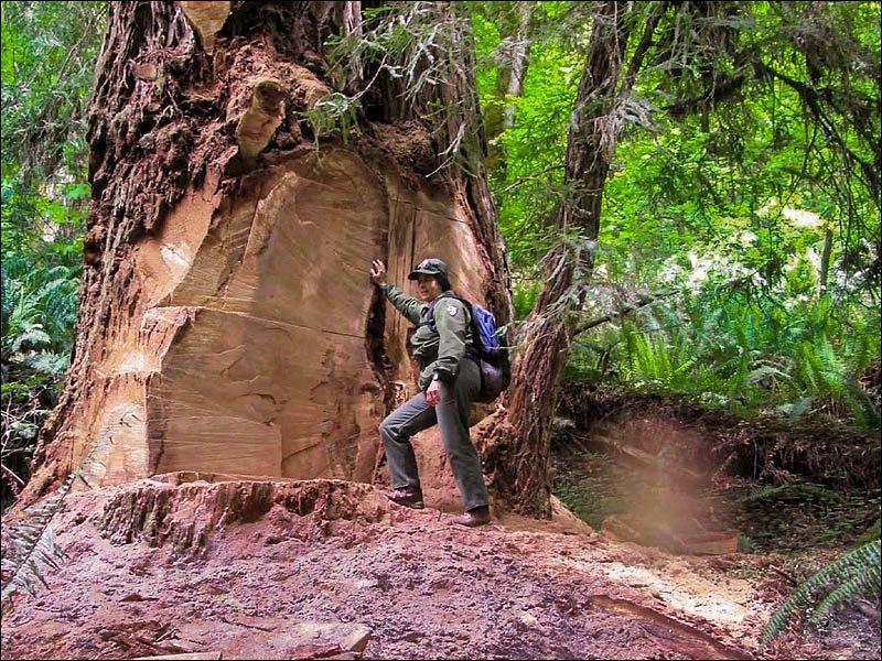 Redwood Burl Poacher Tells Reporter I Needed Money