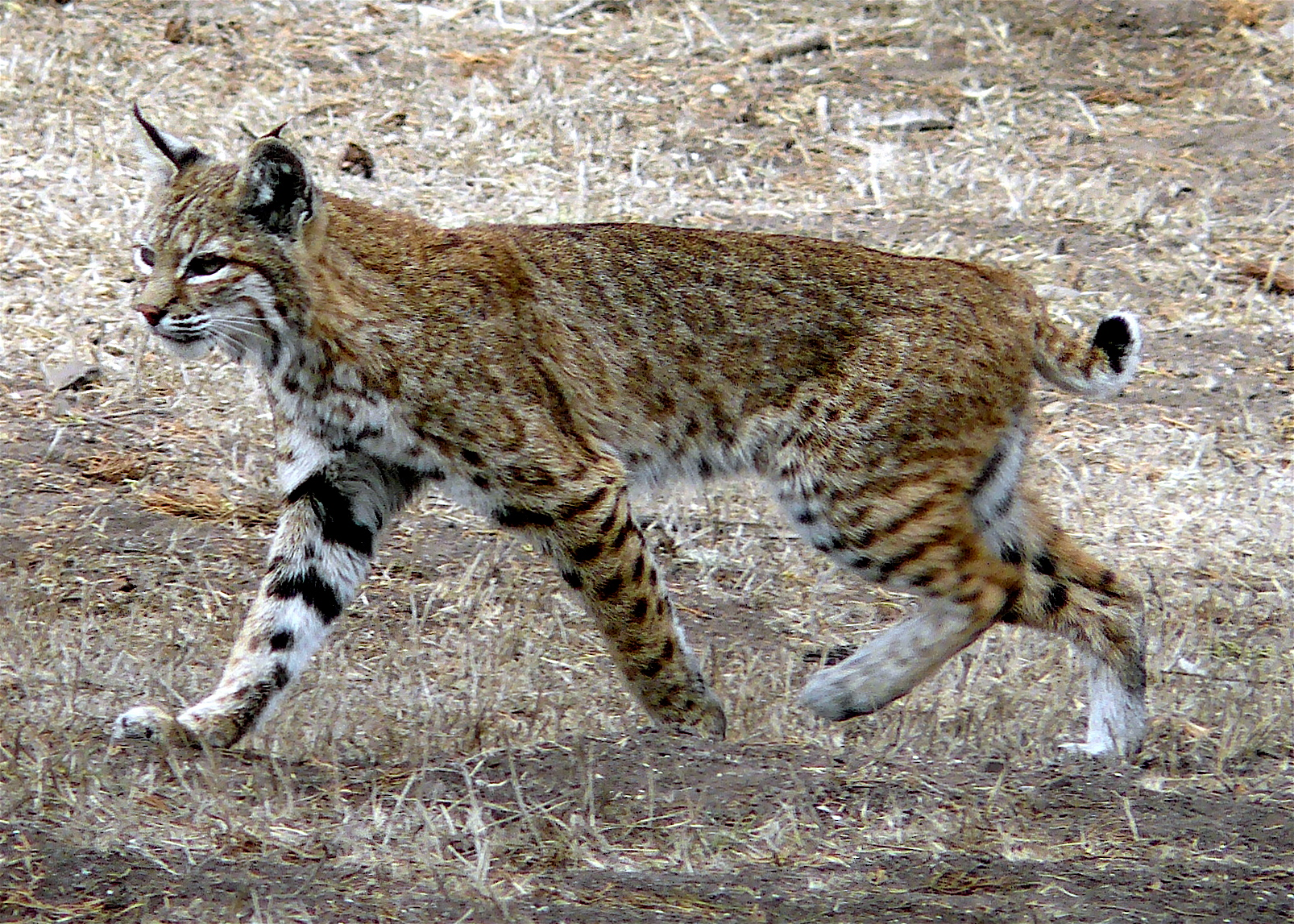 Decorating In White State Could Ban Bobcat Trapping At Upcoming Meeting In