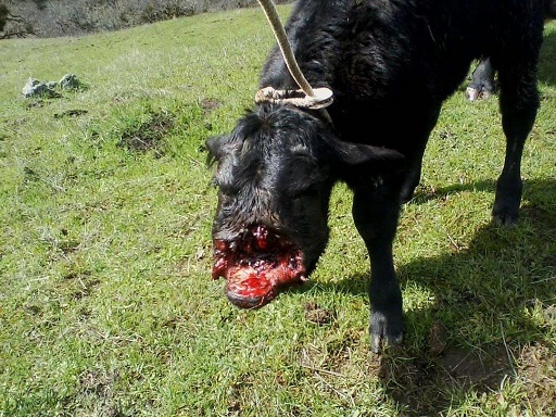 Cows Are Like Dogs