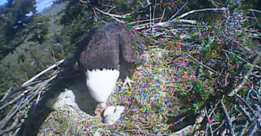 The Humboldt Bay Baby Eagle Has Landed … (Well, Hatched)
